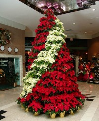 Christmas Poinsettia Plants The Masters Lawn Care