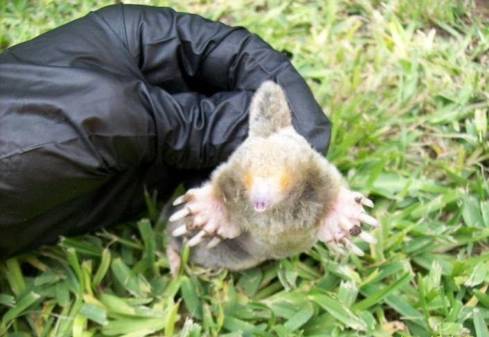 What Can I Do About The Moles Tearing Up My Gainesville