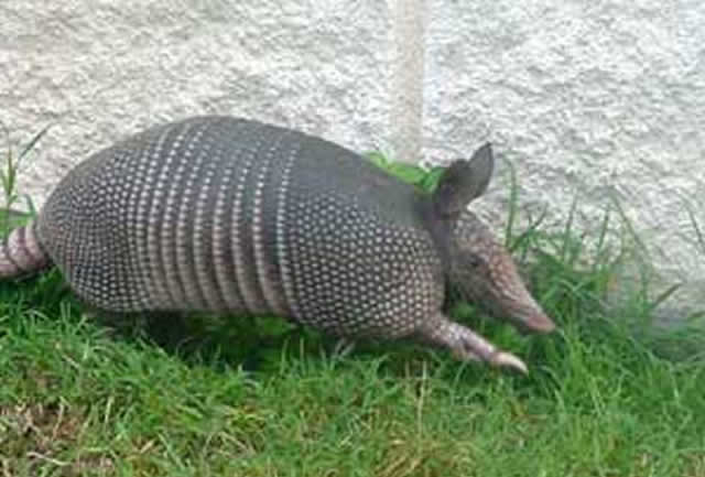 How Do I Keep Armadillos From Tearing Up My Gainesville
