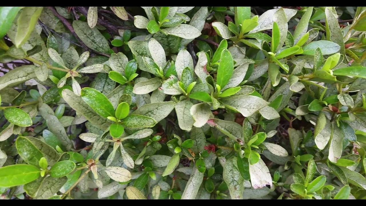 February Lawn Pest Of The Month Azalea Lace Bug The
