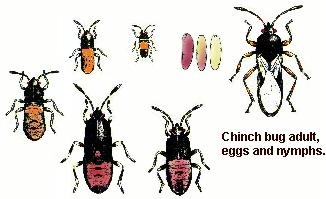 Chinch Bug Activity Abounds Protect Your Gainesville