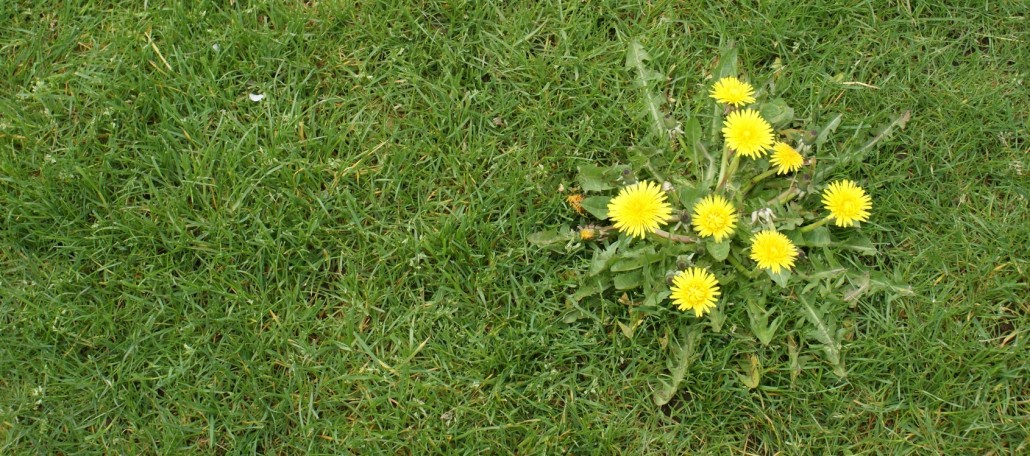 Are You Fighting Weeds In Your Lawn The Masters Lawn Care