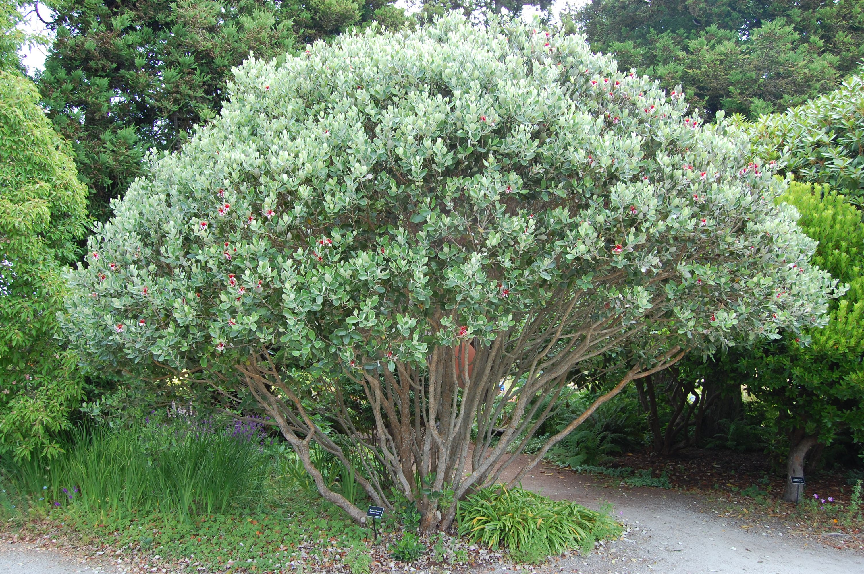 Landscape Plant Of The Month Pineapple Guava The Masters Lawn Care