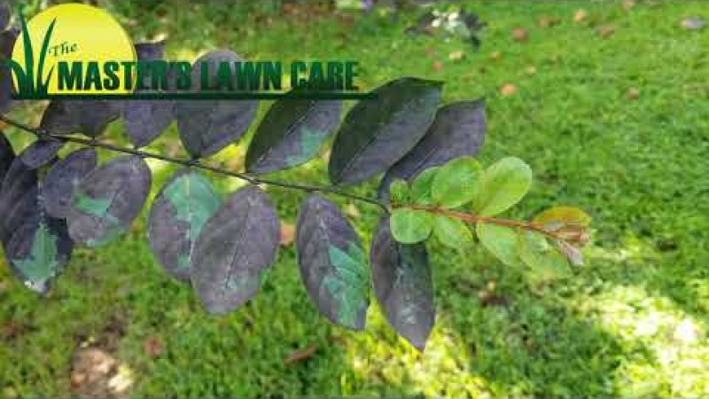 Embedded thumbnail for Why does my Crape Myrtle tree have black mold on the leaves?