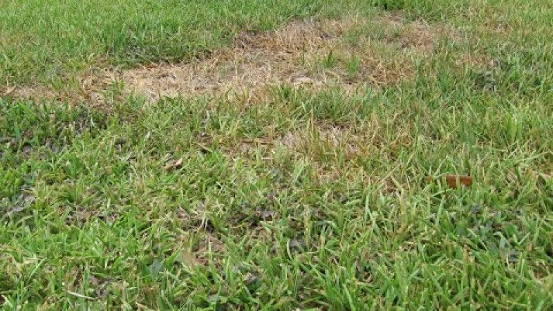 Embedded thumbnail for What does 'scalping' the lawn do to Gainesville turf?