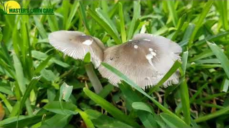 Embedded thumbnail for VIDEO: Why does my Gainesville Lawn have mushrooms and leaf spots?