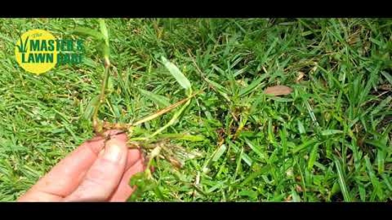 Embedded thumbnail for 2 Invasive Fall Gainesville Lawn Weeds to Watch Out for