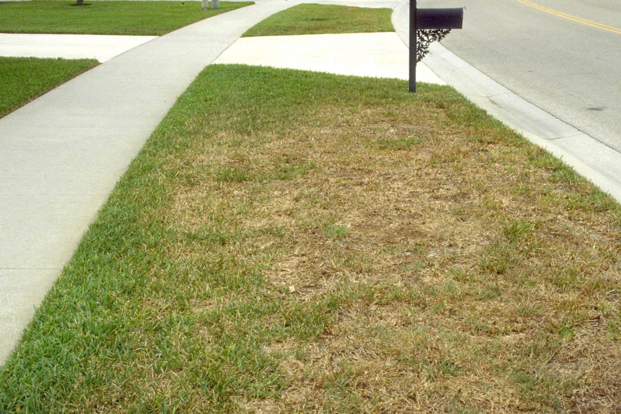 Chinch Bug damage in Gainesville Lawn