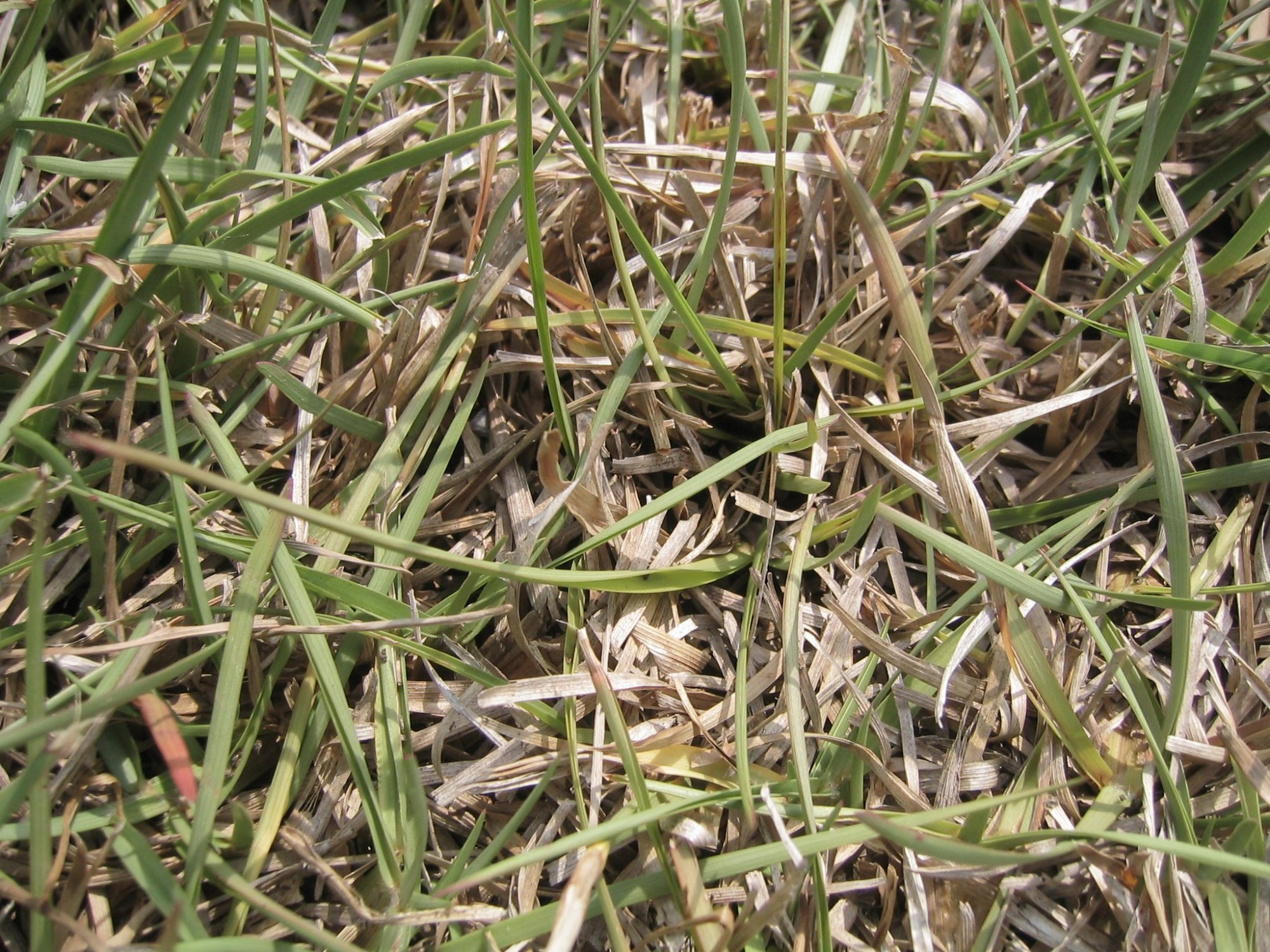 St. Augustine Grass Drought Stress