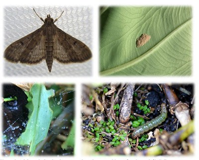 Gainesville Sod Webworms