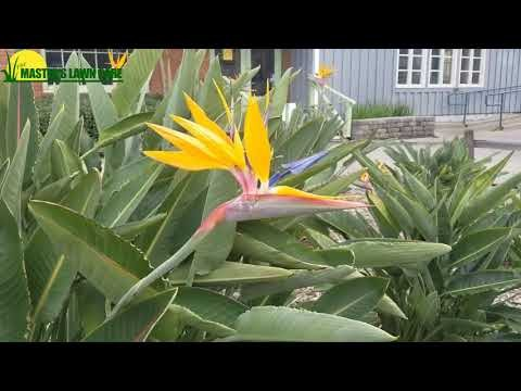 Embedded thumbnail for Gainesville Landscape Plant of the Month: Bird of Paradise