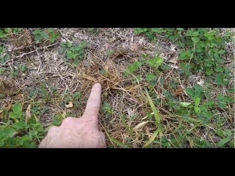Embedded thumbnail for VIDEO: How can I know Chinch Bugs are in my Gainesville lawn?