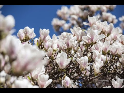 Embedded thumbnail for Gainesville Landscape Plant of the Month: Japanese Magnolia