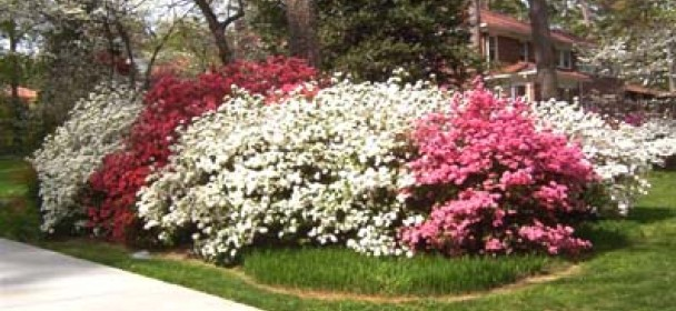Gainesville Landscape Plant Of The Month Azalea The