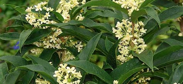 Gainesville landscape plant of the month tea olive the for Olive plant care