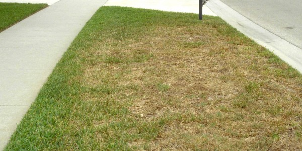 Quick Tip Chinch Bugs Are Coming To Gainesville Lawns