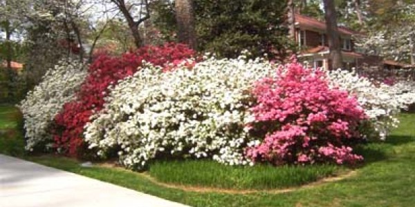 Gainesville Landscape Plant Of The Month Azalea The Masters Lawn Care
